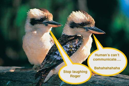 Kookaburras use laughing calls to communicate territorial boundaries